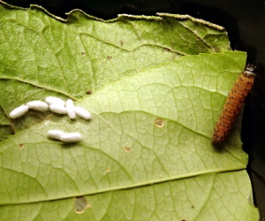 Dogbane caterpillar