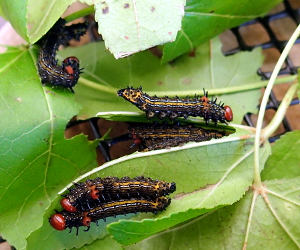 Red-humped caterpillars
